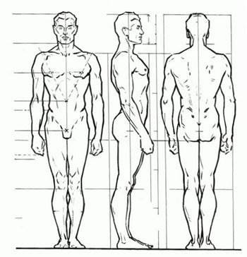 proportions of the human body